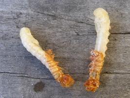 Zwei Mehlwürmer verpuppen sich