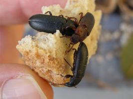 Drei Käfer auf einem Stück Brot